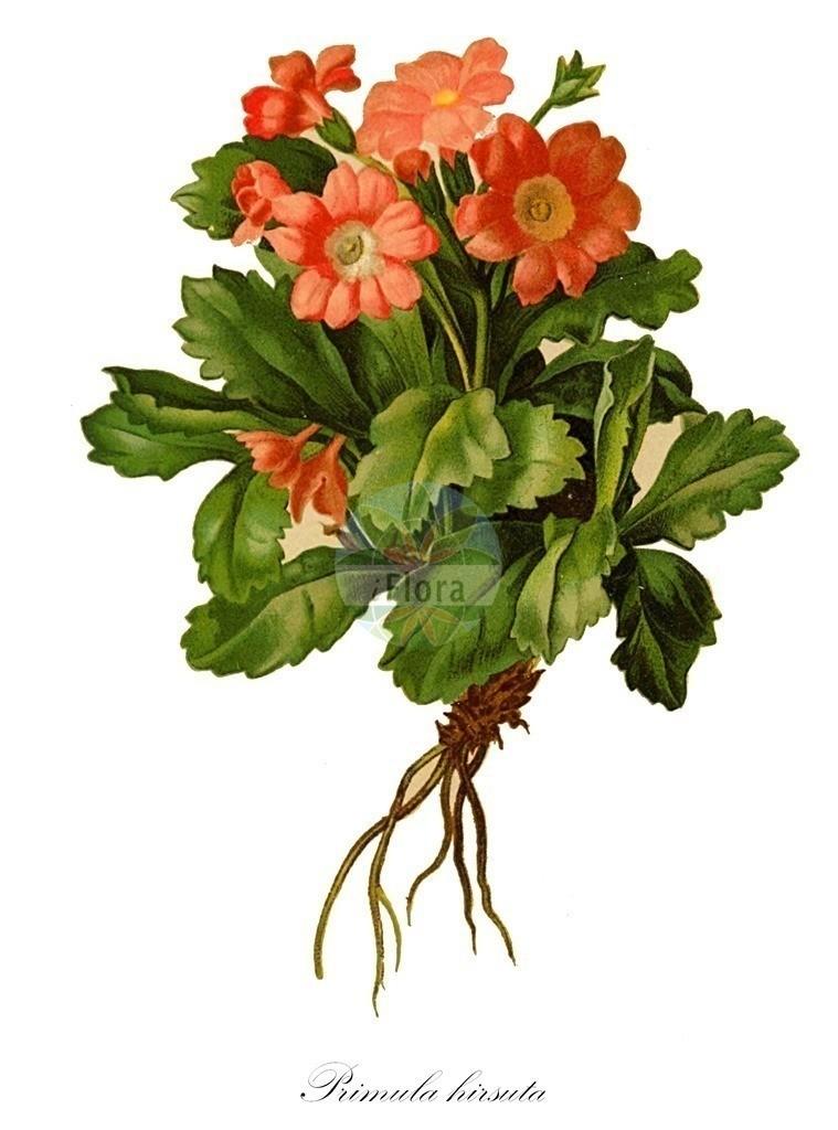 Historical drawing of Primula hirsuta (Hairy Primrose) | Historical drawing of Primula hirsuta (Hairy Primrose) showing leaf, flower, fruit, seed