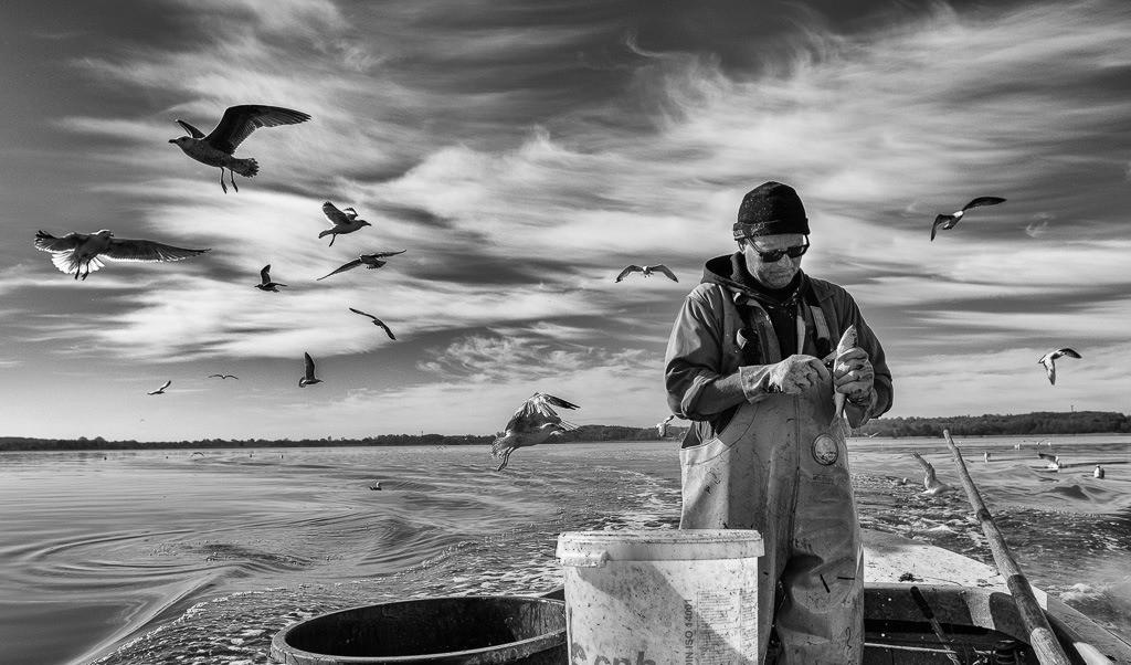 Matthias Nanz – ein Fischer an der Schlei © Holger Rüdel | Matthias Nanz aus Schleswig ist einer der letzten Berufsfischer an der Schlei. Bei seinen Fangfahrten - hier Ende April auf der Großen Breite der Schlei - sind hungrige Möwen häufige Begleiter, immer in der Hoffnung auf Fischabfälle wie in diesem Fall Innereien ausgenommener Heringe.