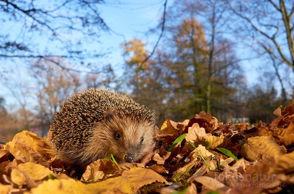 Igel im Herbstlaub   Ein europäischer Igel sucht im Herbstlaub nach Nahrung, um für den Winterschlaf gerüstet zu sein.