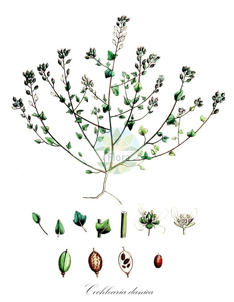 Historical drawing of Cochlearia danica (Danish Scurvygrass)   Historical drawing of Cochlearia danica (Danish Scurvygrass) showing leaf, flower, fruit, seed