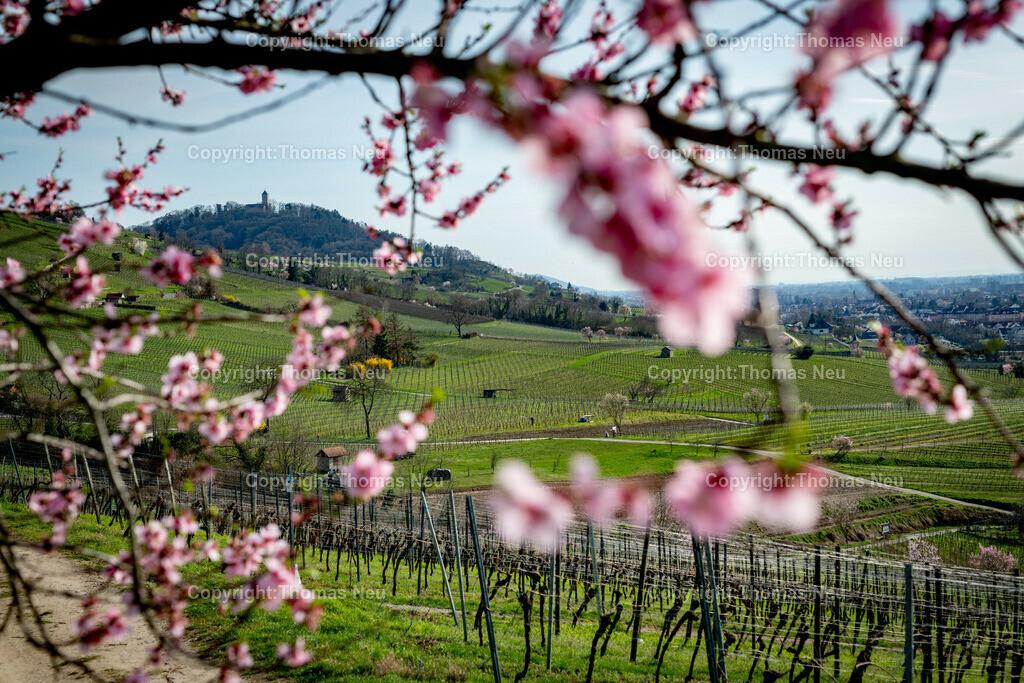 DSC_4796 | Bensheim, Weinberge zwischen Bensheim und Heppenheim, es ist die schönste Jahreszeit an der Bergstraße, die Mandelblüte verzaubert, die Weinberge laden zum bei warmen Tepmeraturen zum Spaziergang ein,  Bild: Thomas Neu