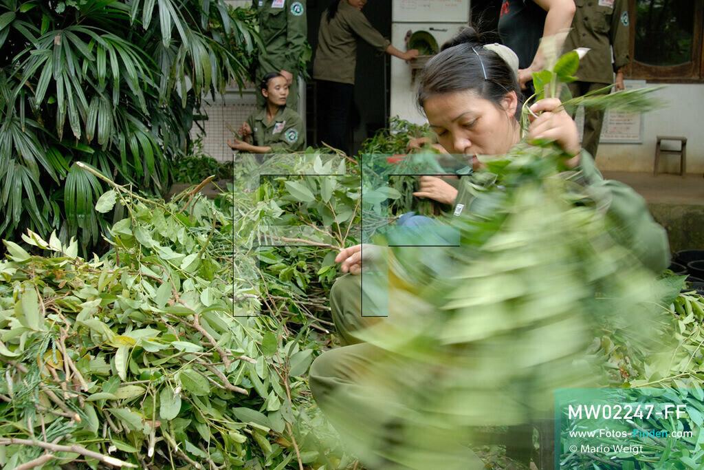 MW02247-FF | Vietnam | Provinz Ninh Binh | Reportage: Endangered Primate Rescue Center | Tierpfleger sortieren spezielle Blätter für die Fütterung. Der Deutsche Tilo Nadler leitet das Rettungszentrum für gefährdete Primaten im Cuc-Phuong-Nationalpark.    ** Feindaten bitte anfragen bei Mario Weigt Photography, info@asia-stories.com **