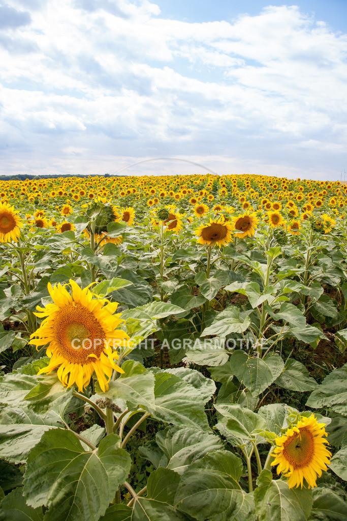 20090711-IMG_3777 | blühende Sonnenblumen im Sommer - AGRARMOTIVE Bilder aus der Landwirtschaft