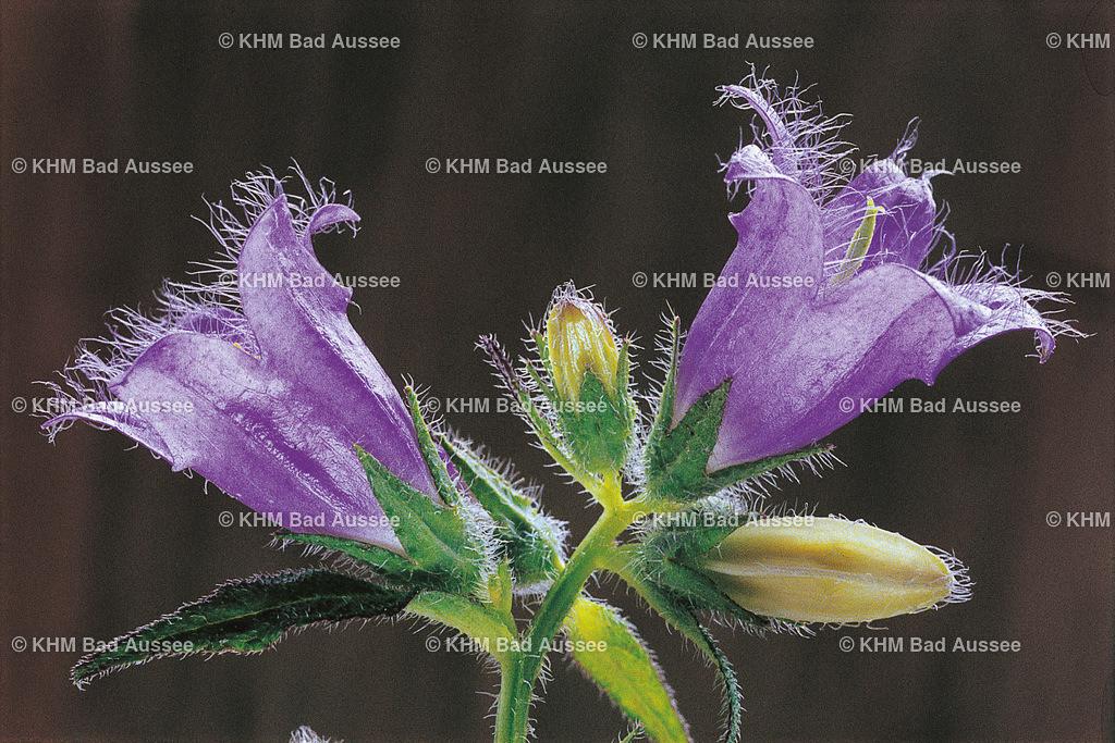 Nesselblättrige_Glockenblume | lat. Campanula trachelium