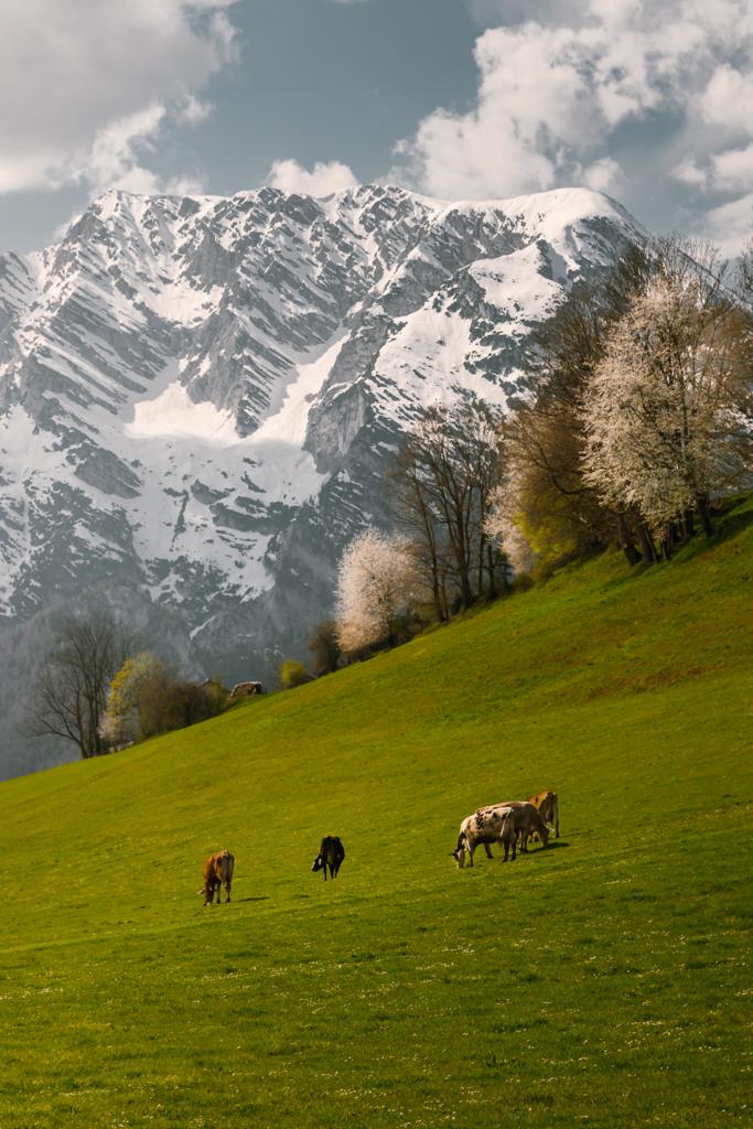 A Taste of Styria | Grasende Kühe, blühende Bäume und ein mit Schnee bedeckter Grimming - was will man mehr?
