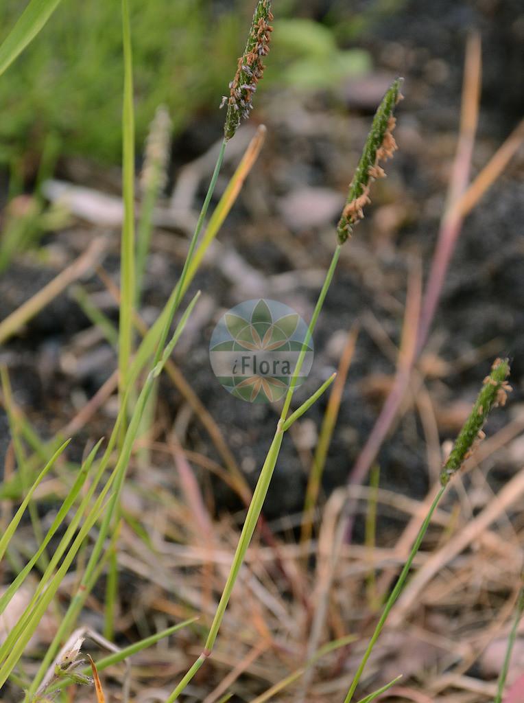Alopecurus rendlei (Aufgeblasenes Fuchsschwanzgras - Rendle's Meadow Foxta | Foto von Alopecurus rendlei (Aufgeblasenes Fuchsschwanzgras - Rendle's Meadow Foxtail). Das Foto wurde in Bremen, Deutschland aufgenommen. ---- Photo of Alopecurus rendlei (Aufgeblasenes Fuchsschwanzgras - Rendle's Meadow Foxtail).The picture was taken in Bremen, G