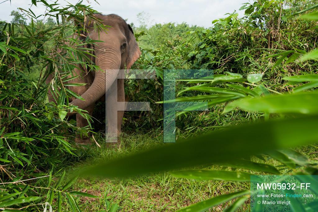 MW05932-FF   Thailand   Goldenes Dreieck   Reportage: Mahut und Elefant - Ein Bündnis fürs Leben   Asiatische Elefanten fressen 200 bis 250 kg Grünzeug pro Tag.  ** Feindaten bitte anfragen bei Mario Weigt Photography, info@asia-stories.com **