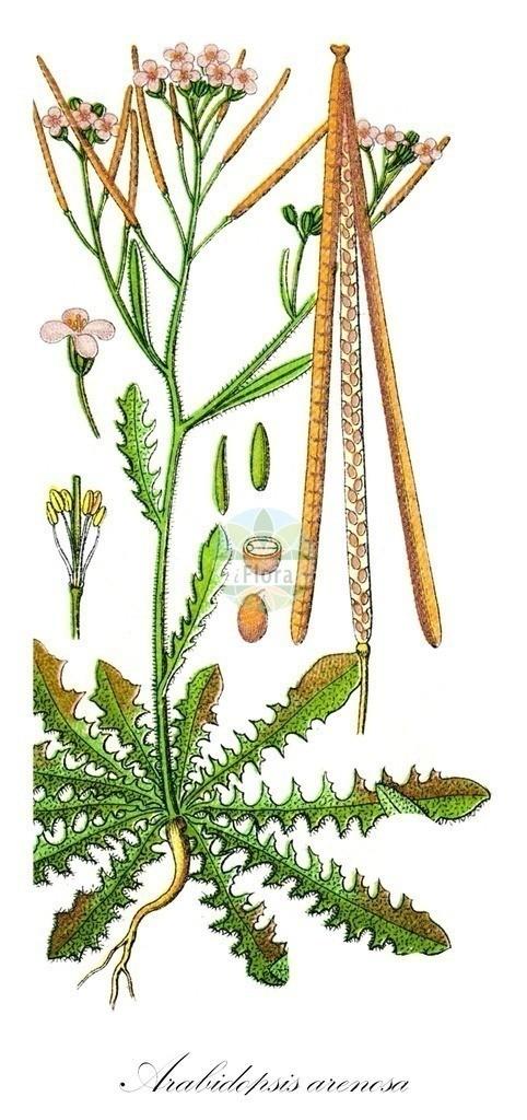 Historical drawing of Arabidopsis arenosa (Sand Rock-cress) | Historical drawing of Arabidopsis arenosa (Sand Rock-cress) showing leaf, flower, fruit, seed