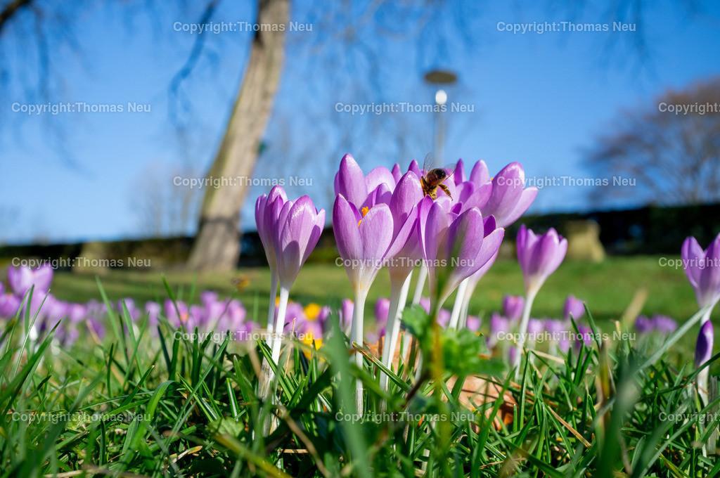 DSCF7192 | Bensheim, Stadtpark, Frühlingsgefühle an der Bergstraße, im Stadtpark wachsen die Krokusse, und fliegen die Bienen, ,, Bild: Thomas Neu