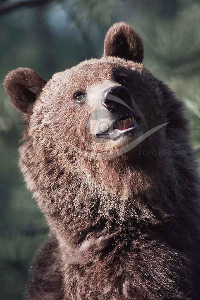 Grizzly_Kopf