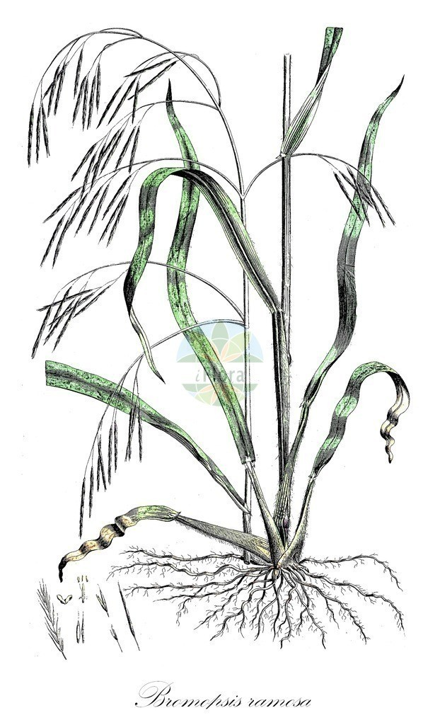 Historical drawing of Bromopsis ramosa (Hairy-brome) | Historical drawing of Bromopsis ramosa (Hairy-brome) showing leaf, flower, fruit, seed