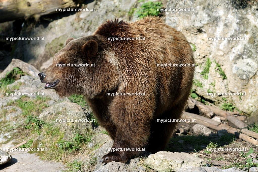 Braunbär-015