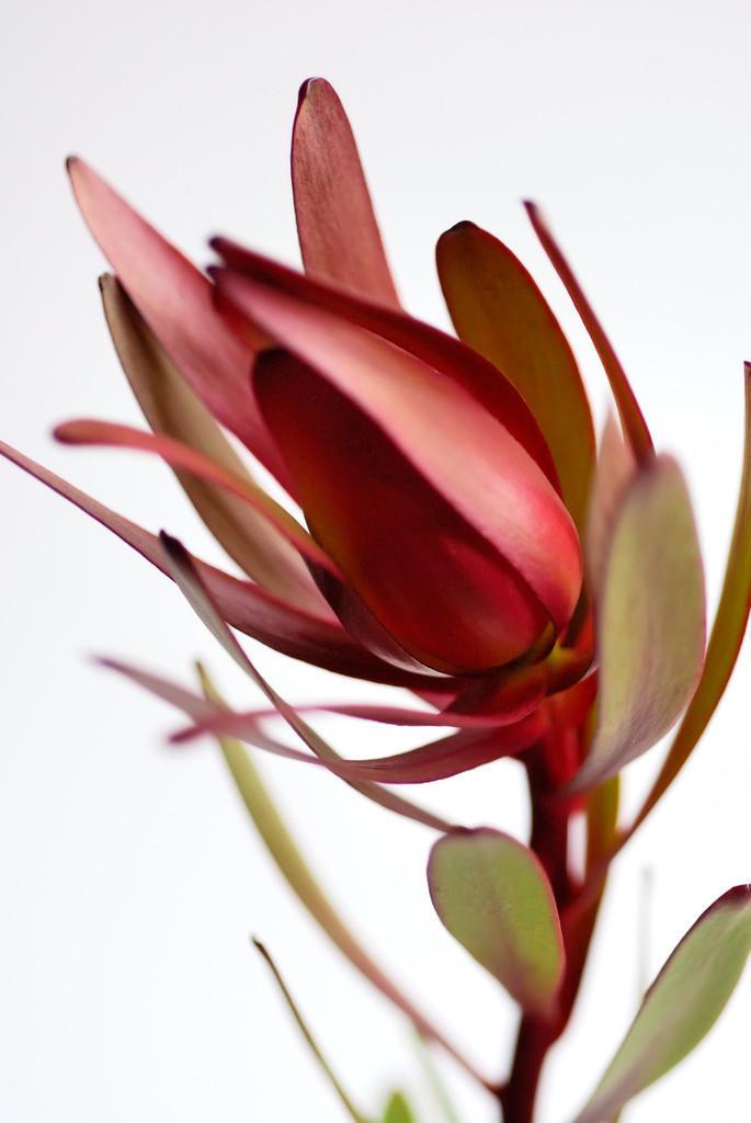 Kombination 01 | Protea Holz, Feuer und Metall