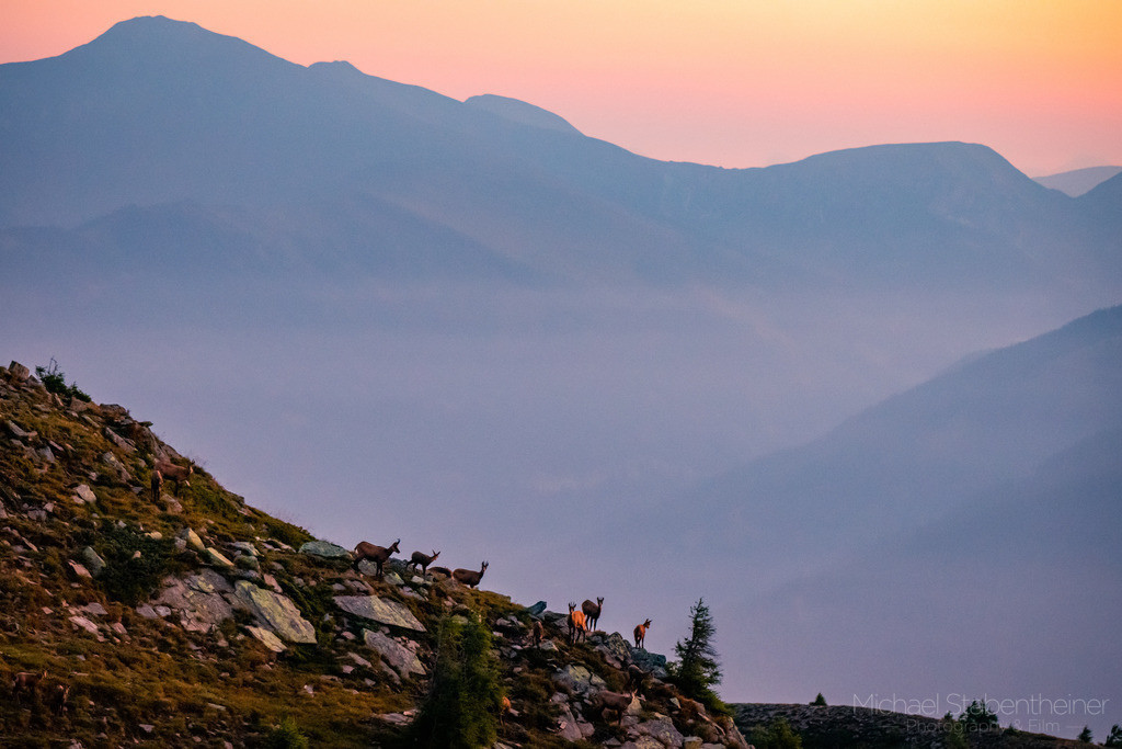 Gämse im Sonnenaufgang | Wilde Gämse am Mirnock
