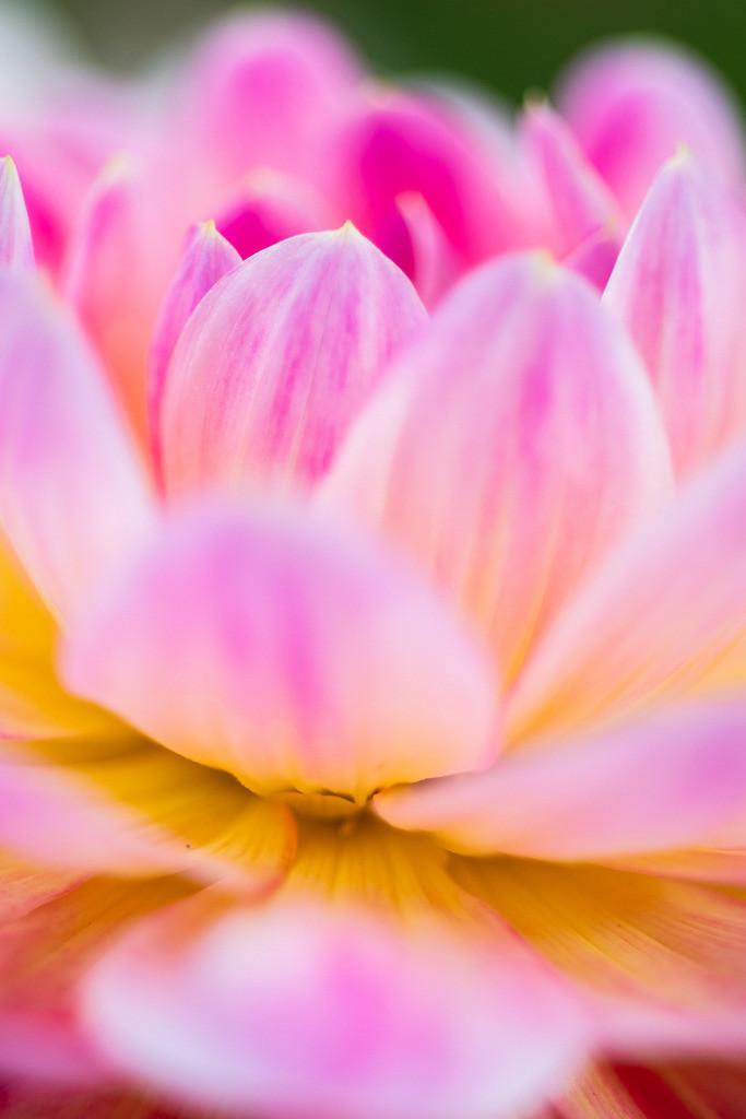 d_2020_06_0299 | Dahlia x hortensis, Seerosen-Dahlie
