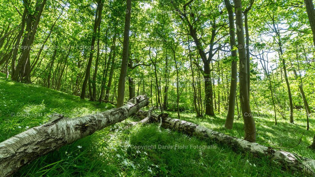 Birkenwald | Sommer im Wald