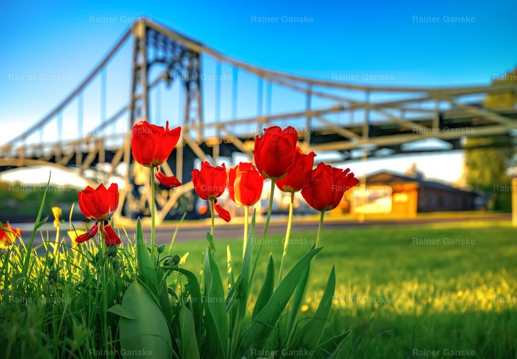 180504-38-Wilhelmshaven Tulpen vor der KW Brücke