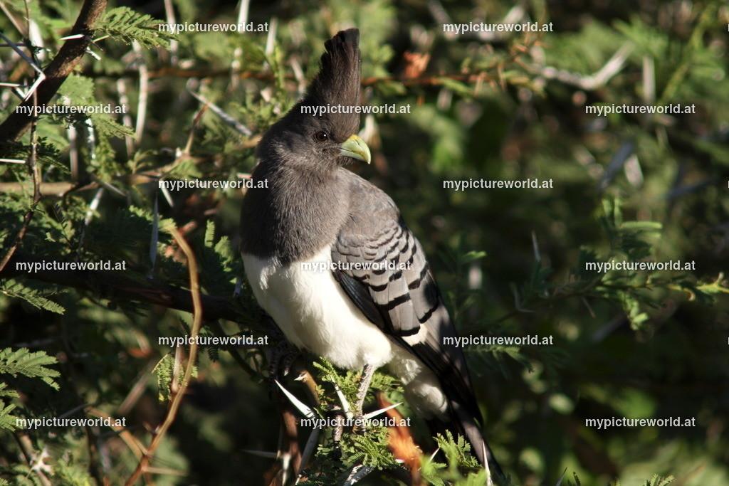 Weißbauch-Lärmvogel-002