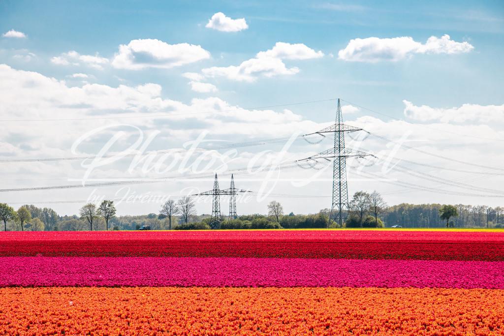 Tulpenfeld in Niedersachsen