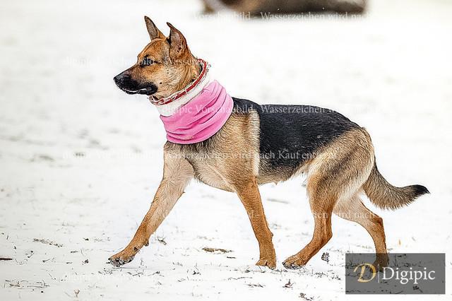 Schäferhund 2 - Vorschaubild | Schäferhund auf der Angeliwiese