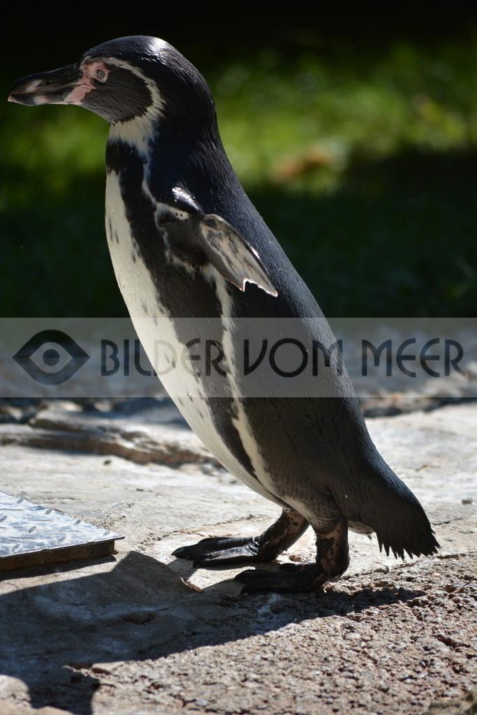 Pinguine Bilder | Foto Pinguzin Bild aus Italien