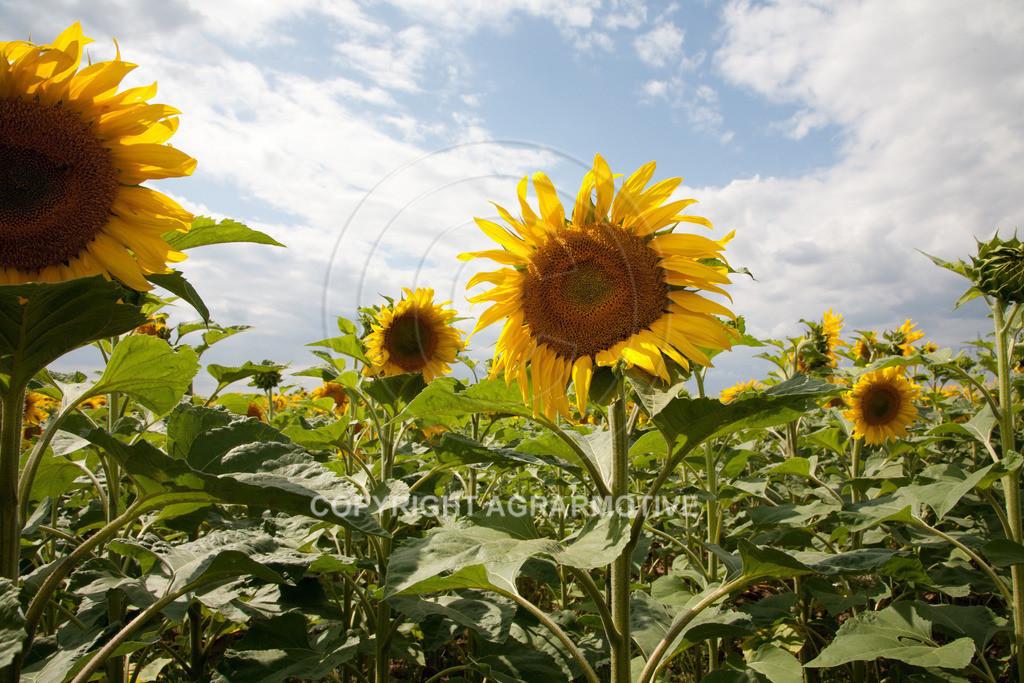 20090711-IMG_3783 | blühende Sonnenblumen im Sommer - AGRARMOTIVE Bilder aus der Landwirtschaft