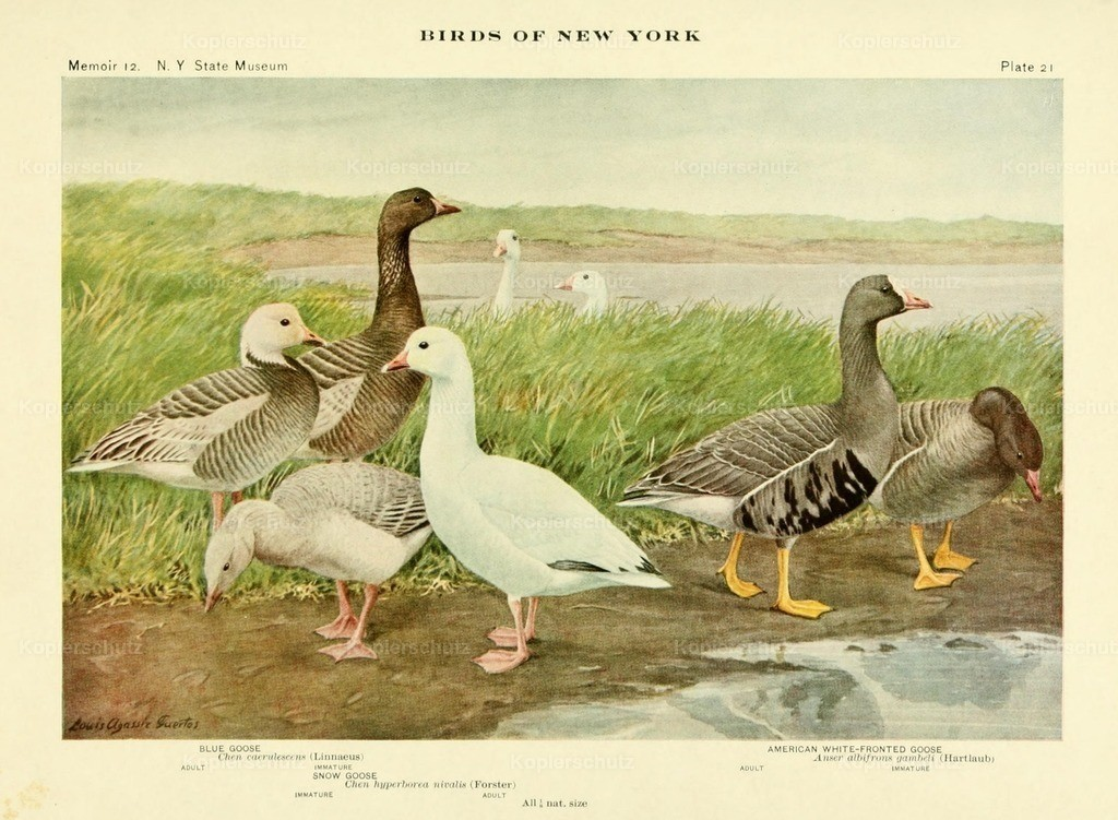 Fuertes_ L.A. (1874-1927) - Birds of NY 1914 - Geese