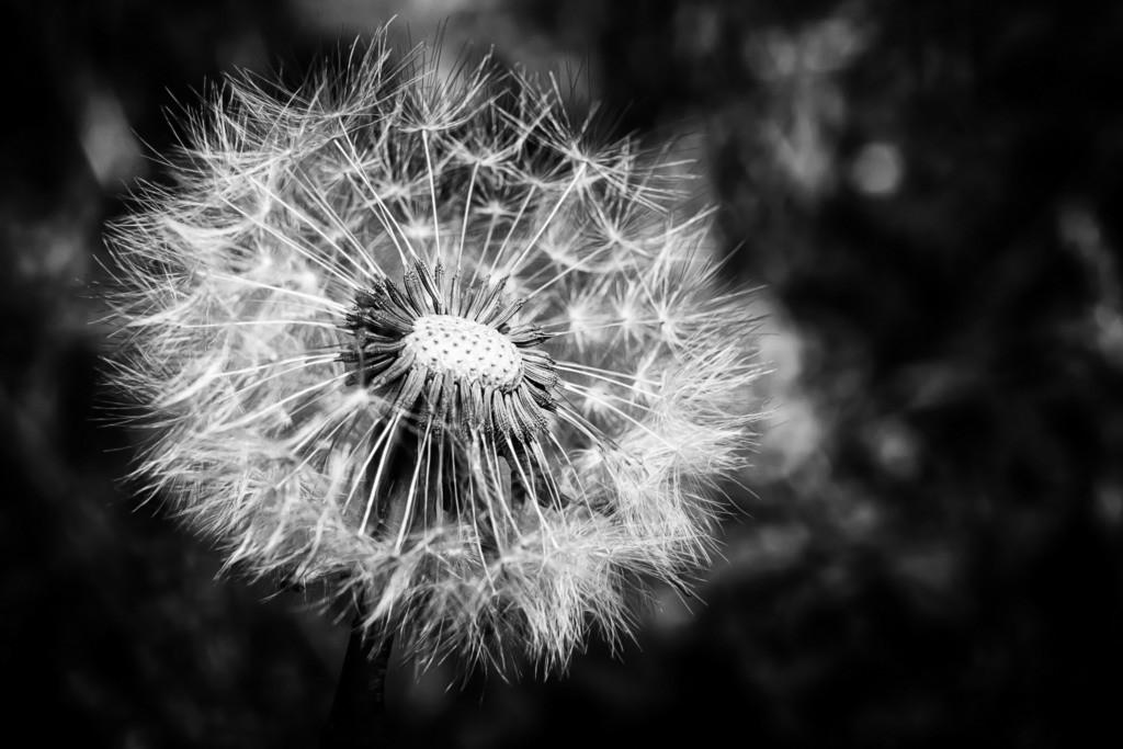 Pusteblume | Blumenmotiv