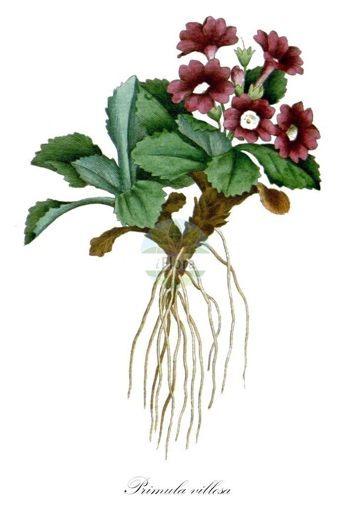 Historical drawing of Primula villosa (Primrose) | Historical drawing of Primula villosa (Primrose) showing leaf, flower, fruit, seed