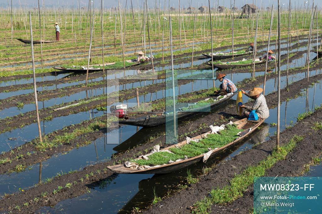 MW08323-FF | Myanmar | Inle-See | Nyaungshwe | Reportage: Ye Lin lebt auf dem Inle-See | In den schwimmenden Gärten auf dem Inle-See wird hauptsächlich Gemüse angebaut. Frauen stecken junge Tomatenpflanzen. Der 8-jährige Ye Lin Yar Zar lebt mit seinen Eltern in einem Pfahlhaus auf dem Inle-See. Er gehört zur ethnischen Gruppe der Intha und beherrscht die einzigartige Einbeinrudertechnik, um zur Schule zukommen.  ** Feindaten bitte anfragen bei Mario Weigt Photography, info@asia-stories.com **
