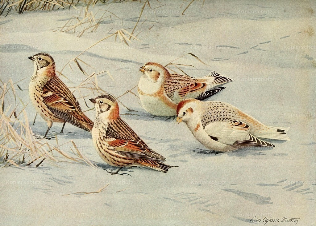 Fuertes_ L.A. (1874-1927) - Birds of Massachusetts 1925 - Longspur _ Snow Bunting