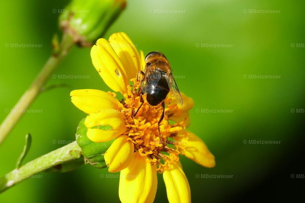 P1020187 | Schwarze Kanarische Biene (Apis mellifera mellifera)