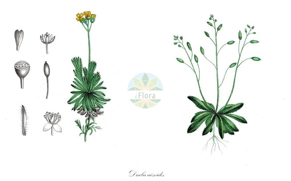 Historical drawing of Draba aizoides (Yellow Whitlowgrass)   Historical drawing of Draba aizoides (Yellow Whitlowgrass) showing leaf, flower, fruit, seed