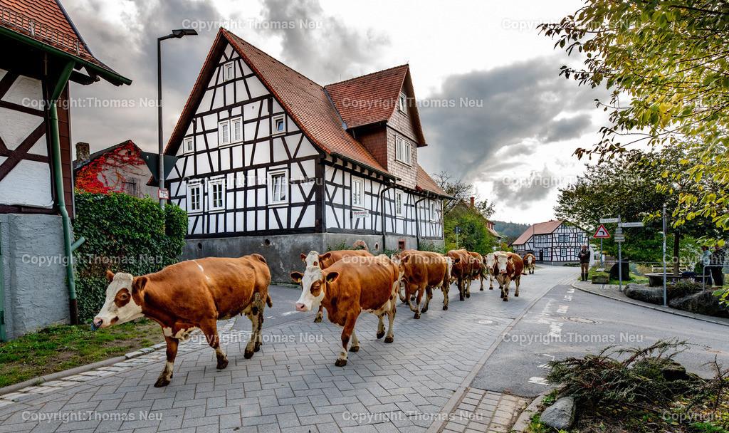 DSC_8632   bli,Lautertal, Schannenbach, Glückliche Kühe, die hier durch das Dorf  von Landwirt Helmut Arras auf ihre Weide getrieben werden, wobei gertrieben der falsche Ausdruck ist , Helmut Arra steht am Straßenrand und sieht zu, denn nachdem die Kühe wegen schlechtem Wetter drei Tage im Stall bleiben mussten eilten sie sichtbar freidig der Weide und dem Aufenthalt im Freien entgegen, , Bild: Thomas Neu
