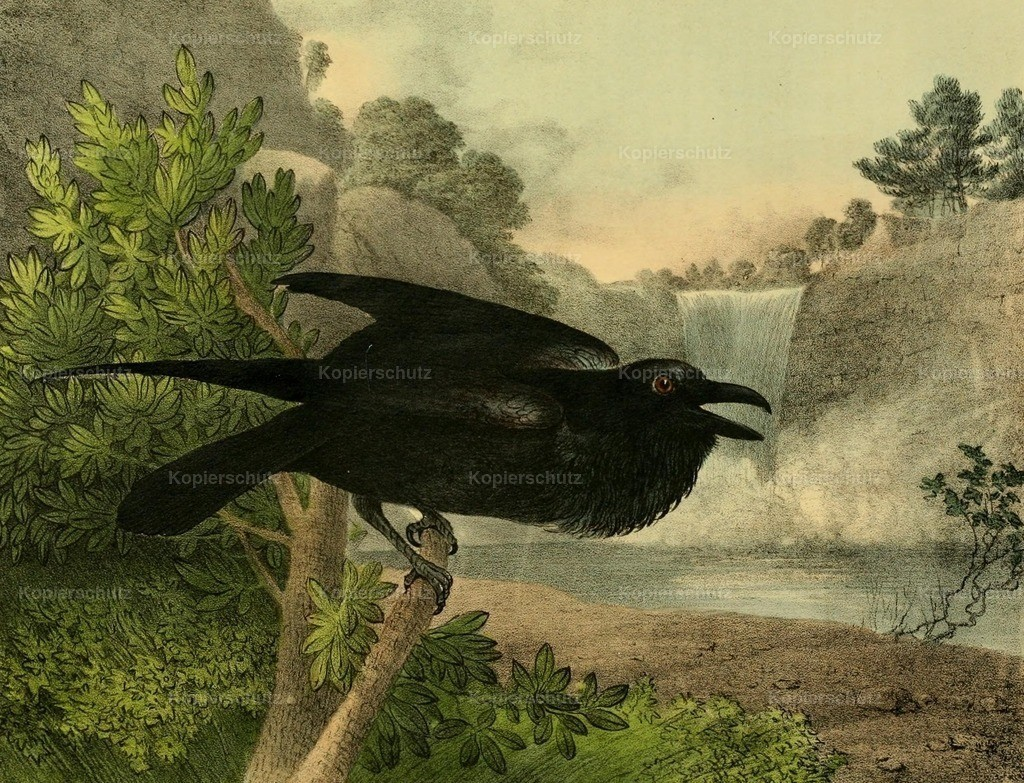 Doughty_ T. (1793-1856) - Cabinet of Natural History 1830 - Raven