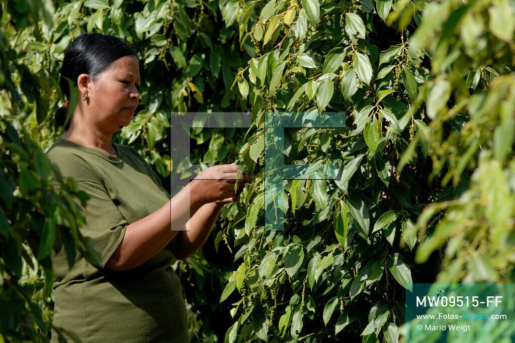 MW09515-FF | Kambodscha | Kampot | Reportage: Pfeffer aus Kampot | Besitzerin einer Pfefferplantage bei Kep prüft die Qualität der grünen Pfefferbeeren. In der Umgebung von Kampot und Kep gibt es zahlreiche Pfefferplantagen.   ** Feindaten bitte anfragen bei Mario Weigt Photography, info@asia-stories.com **