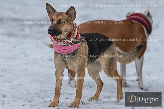 Schäferhund 1 - Vorschaubild