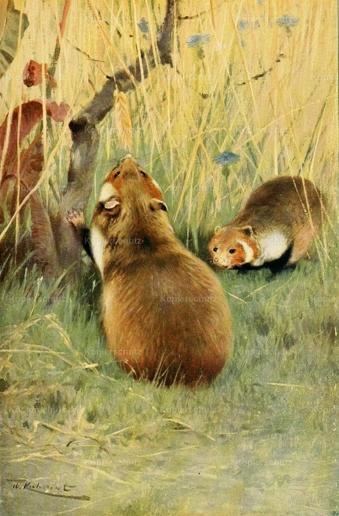 Kuhnert_ F.W. (1865-1926) - Wild Life of the World 1916 - Hamster