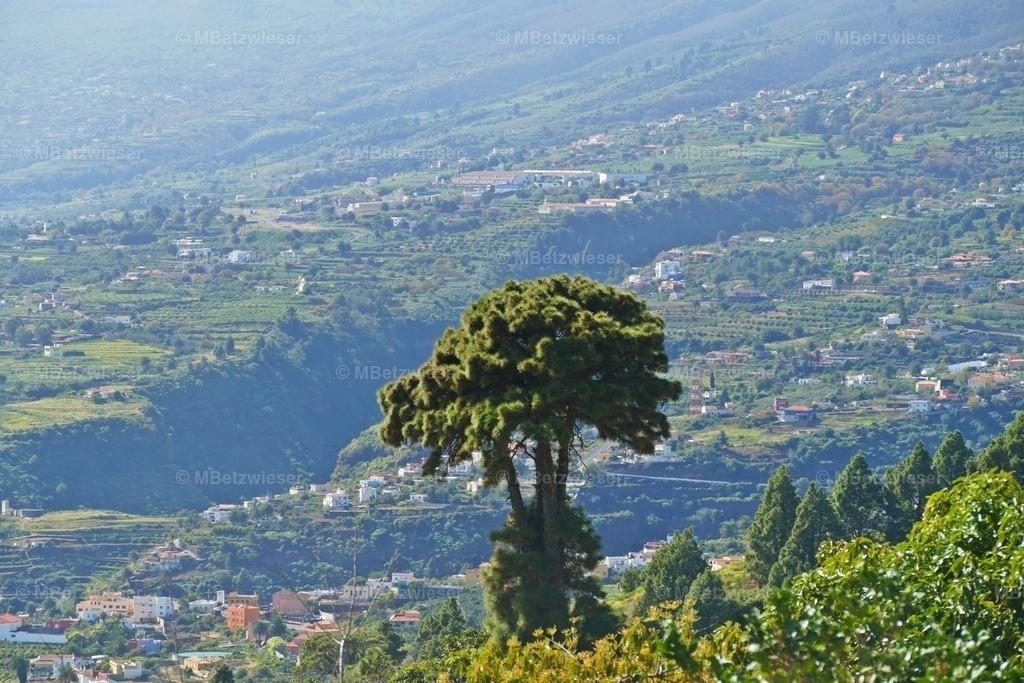 P10500301 | Eine standhafte PINUS CANARIENSIS steht über Santa Cruz de La Palma
