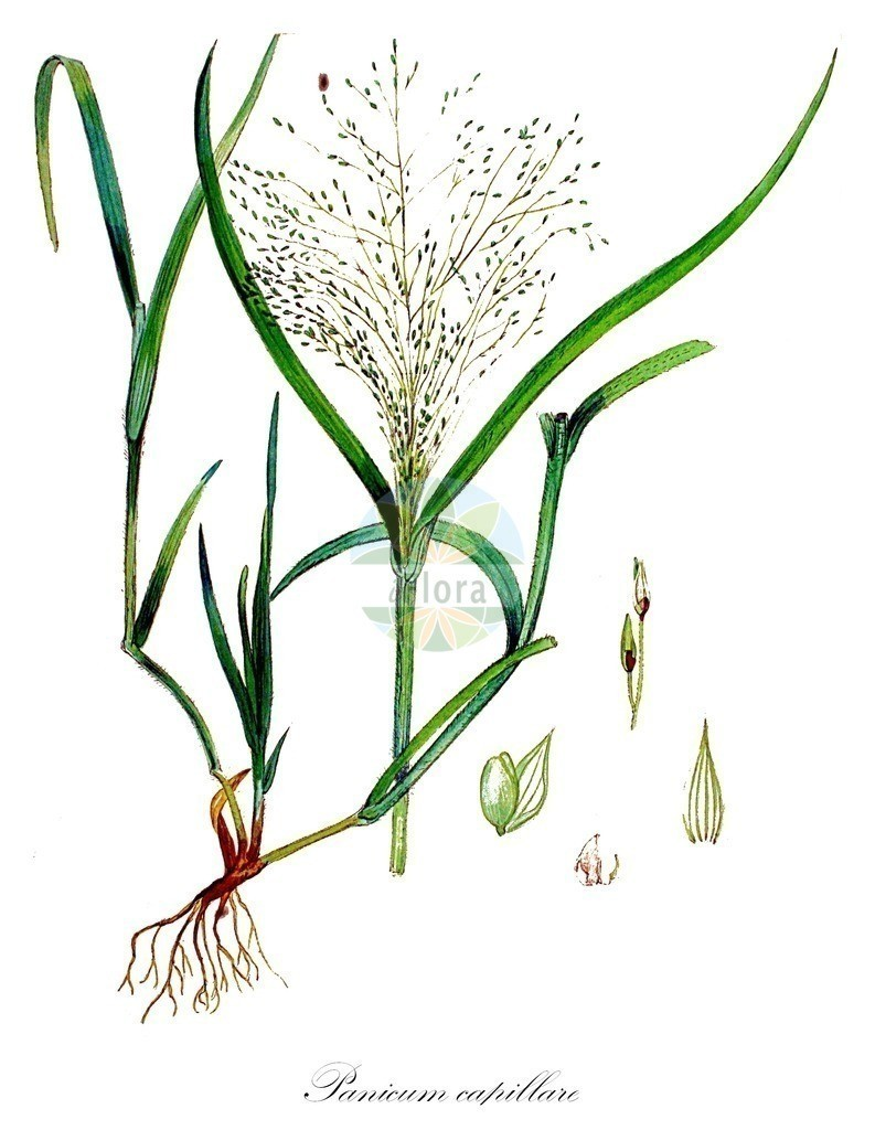 Historical drawing of Panicum capillare (Witch-grass) | Historical drawing of Panicum capillare (Witch-grass) showing leaf, flower, fruit, seed