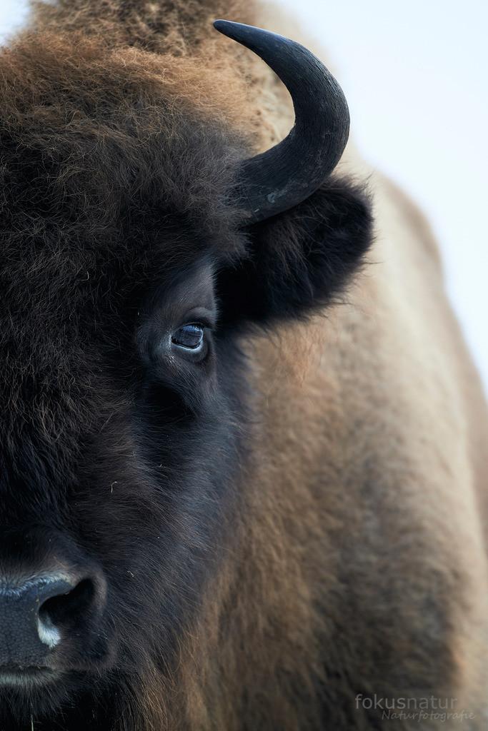 Portrait eines Wisents | Der europäische Bison oder Wisent ist ein urtümliches Rind.