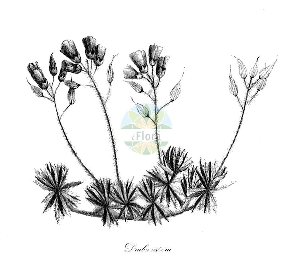 Historical drawing of Draba aspera (Whitlowgrass)   Historical drawing of Draba aspera (Whitlowgrass) showing leaf, flower, fruit, seed