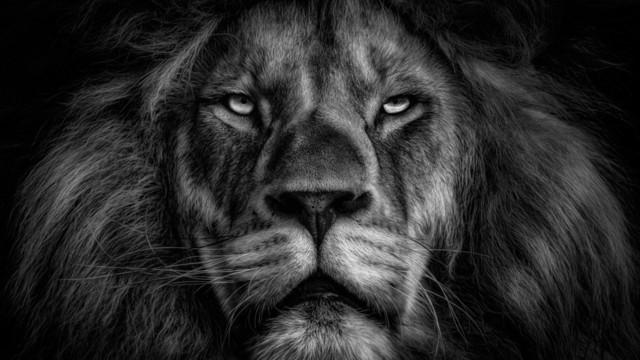 Lion in B/W