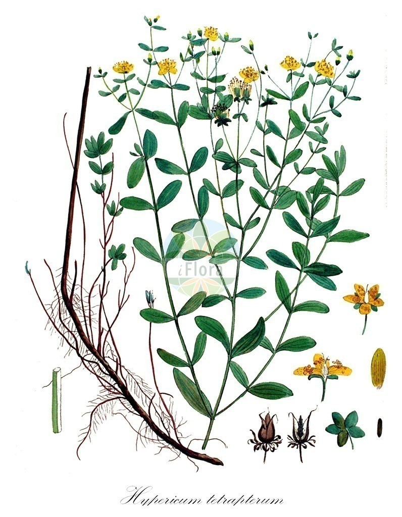 Historical drawing of Hypericum tetrapterum (Square-stalked St John's-Wo | Historical drawing of Hypericum tetrapterum (Square-stalked St John's-Wort) showing leaf, flower, fruit, s