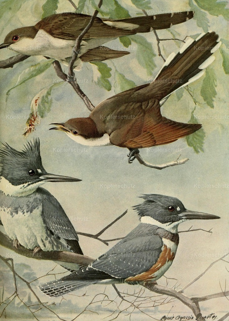 Fuertes_ L.A. (1874-1927) - Birds of Massachusetts 1925 - Belted Kingfisher _ Cuckoos