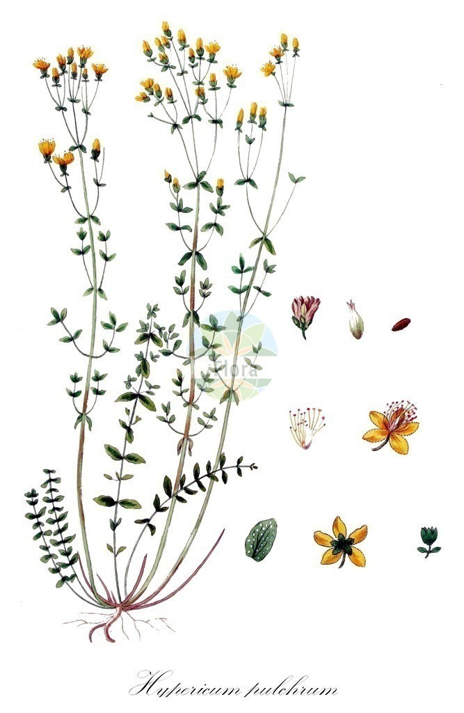 Historical drawing of Hypericum pulchrum (Slender St John's-wo | Historical drawing of Hypericum pulchrum (Slender St John's-wort) showing leaf, flower, fruit, s