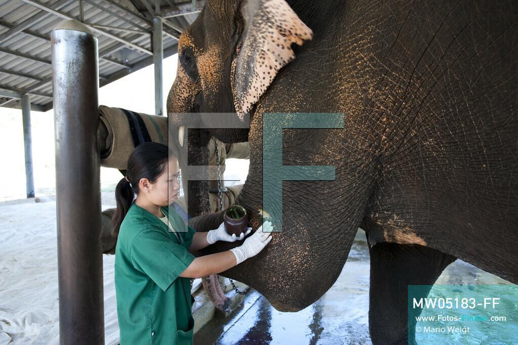 MW05183-FF | Thailand | Lampang | Reportage: Krankenhaus für Elefanten | Tierärztin Cruetong Kayan behandelt eine Wunde von Elefantenkuh Motala.  ** Feindaten bitte anfragen bei Mario Weigt Photography, info@asia-stories.com **