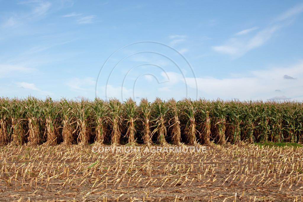 20080914-IMG_8926 | Silomais wird gehäckselt - AGRARFOTO Bilder aus der Landwirtschaft