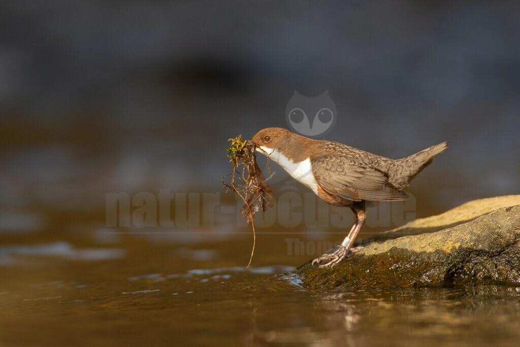 20190223125501 | Die Wasseramsel (Cinclus cinclus) gehört zu den Singvögeln, genauso wie die Amsel. Sie sind aber nicht miteinander verwandt. Die Wasseramsel gehört zur Familie der Wasseramseln (Cinclidae). Verbreitung und Vorkommen: Man kann die Wasseramsel gut in Mitteleuropa und in Nordeuropa beobachten.
