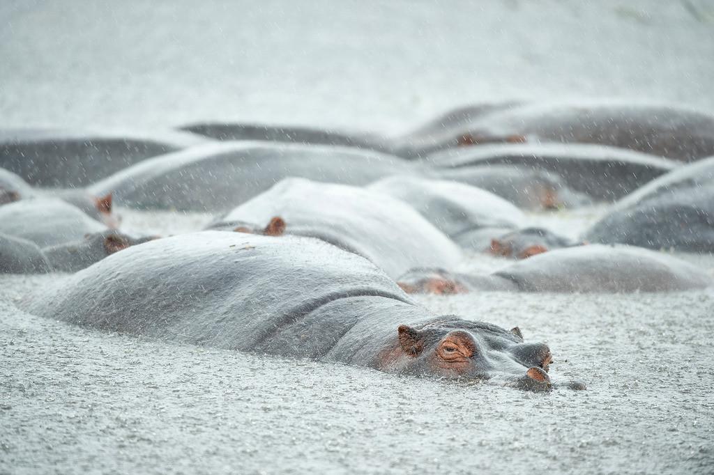 Flusspferde im Regen | Ein tropischer Regenschauer prasselt auf die Dickhäuter nieder.